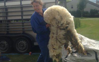 Pasgeschoren ruwe schapenvachten te koop