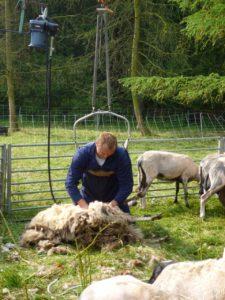 Martin Reitsma op de schaapscheerderdag aan het schapen scheren uit de kudde van Hilde Groen